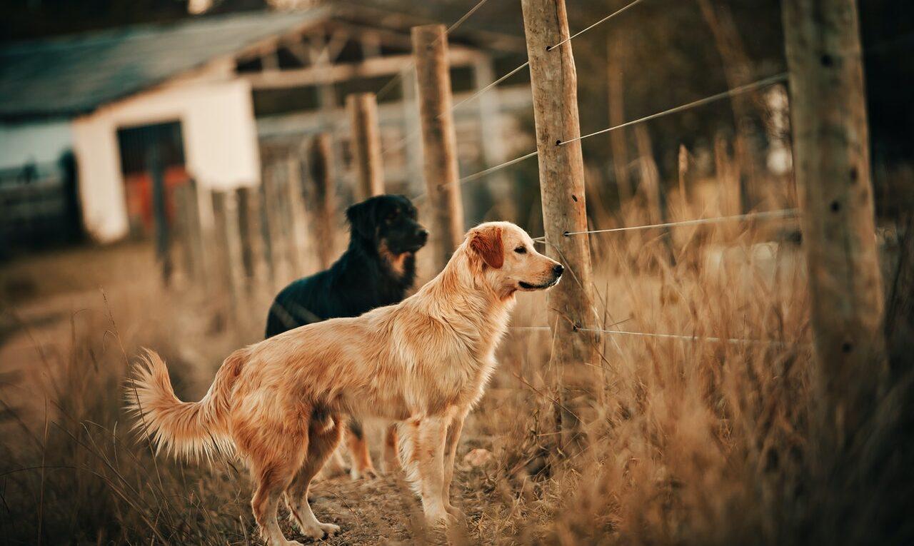 psy przy ogrodzeniu