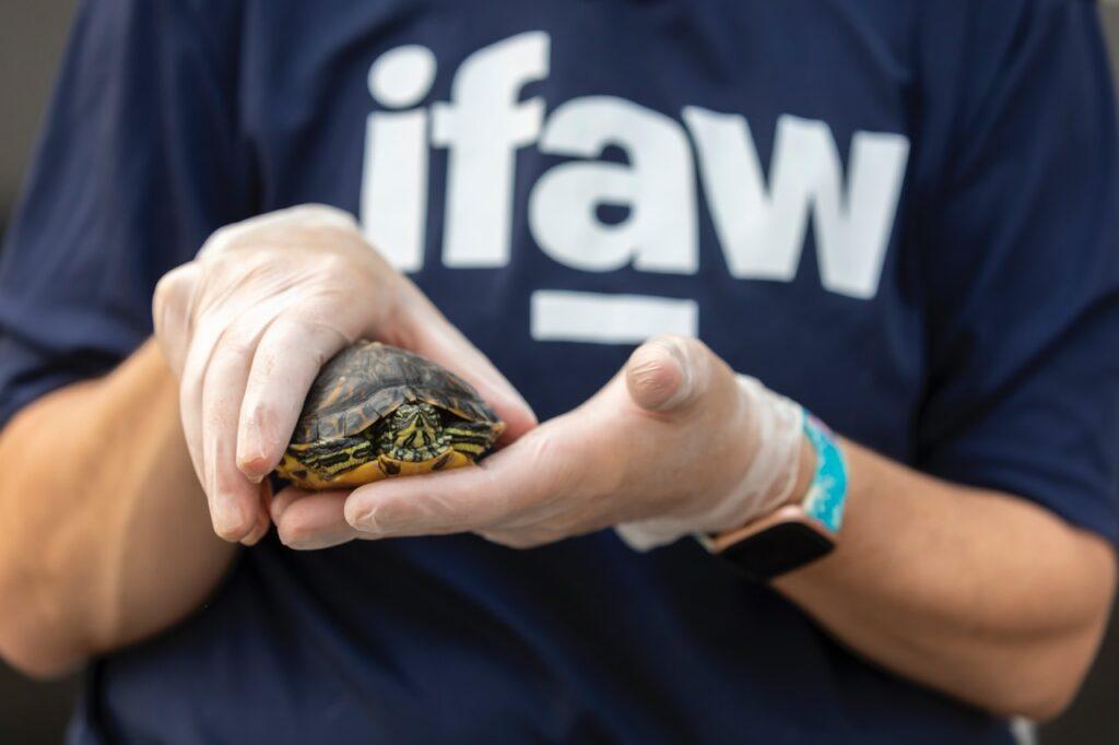 Żółw stepowy na ręce