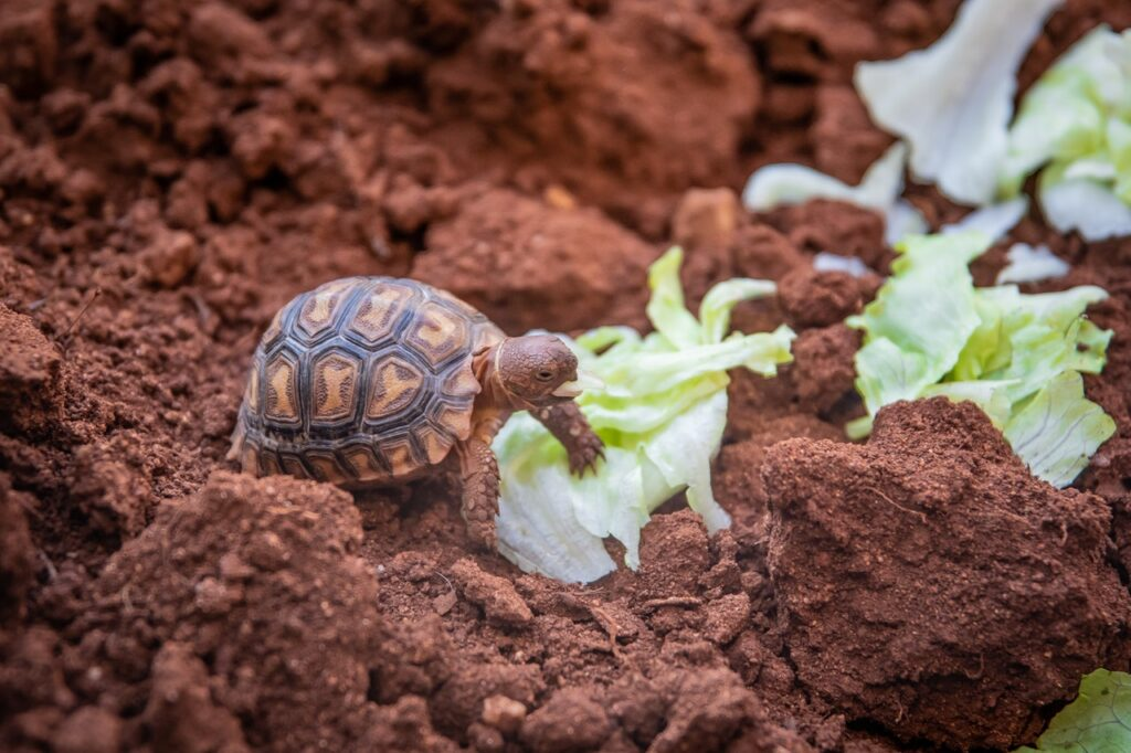 Żywienie żółwia stepowego