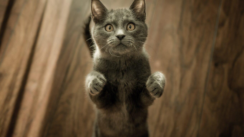 koci katar - objawy